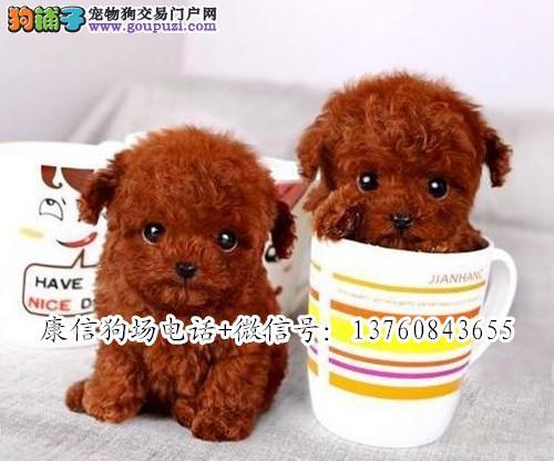 广州哪里有卖贵宾犬 广州康信专业繁殖纯种贵宾犬