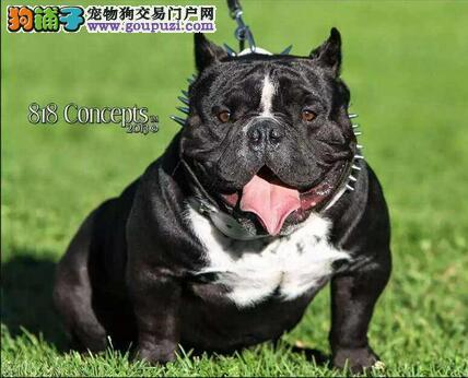 广州哪里有卖美国恶霸犬 纯种美国恶霸什么价格