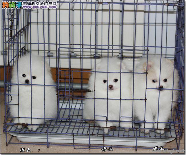 南宁哪里有卖宠物狗的 好的博美多少钱