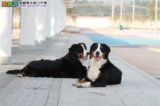 伯恩山犬,专业繁殖纯种伯恩山幼犬出售