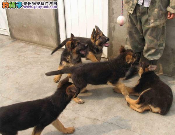 广州哪里有卖德国牧羊犬广州纯种德牧小狗多少钱一只