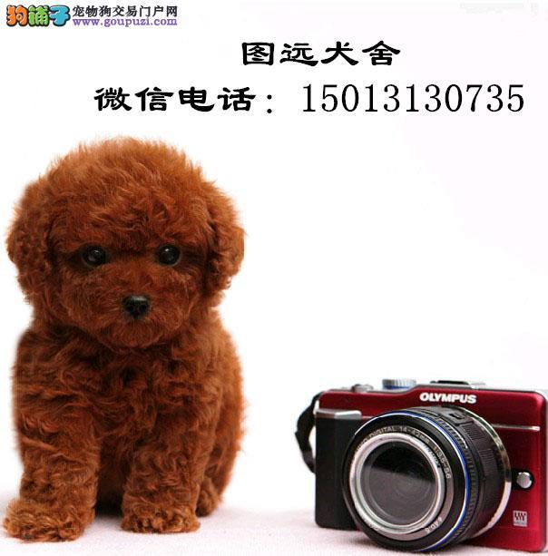 广州哪里有卖茶杯犬 广州哪里有卖纯种茶杯犬小狗