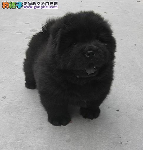 佛山哪里有卖松狮犬好 佛山纯种松狮犬小狗多少钱一只