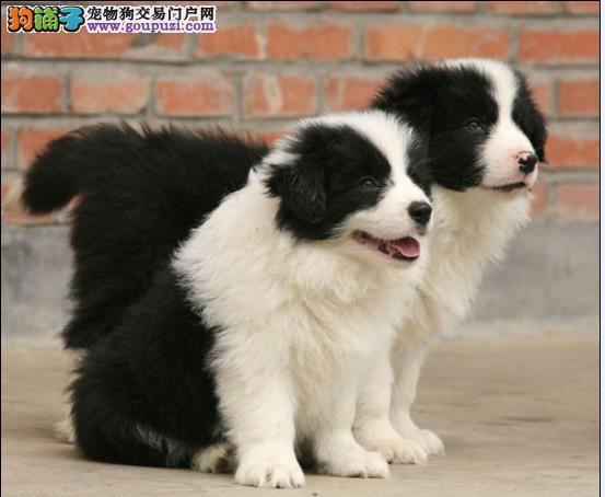 广州有名的犬舍 广州大型正规犬舍 广州纯种边牧出售