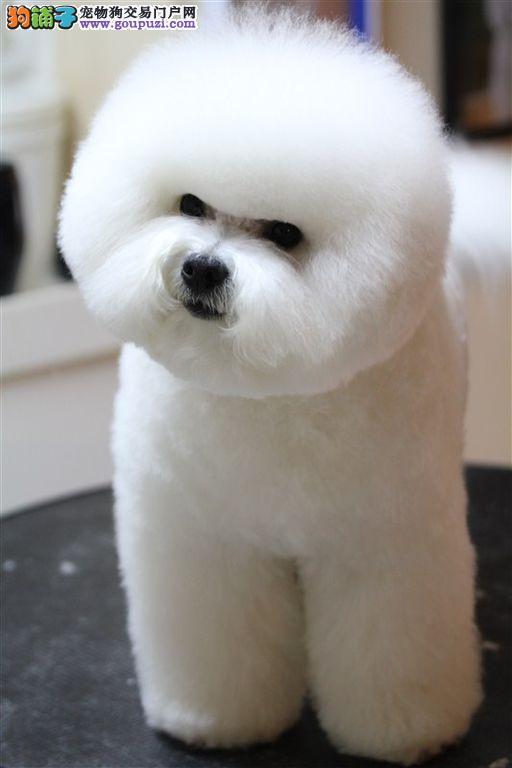 广州哪里有卖比熊犬 广州卖狗的地方 广州狗场在哪里