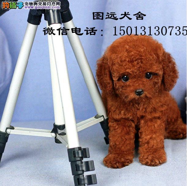 广州哪里有卖泰迪熊犬 广州纯种泰迪熊犬多少钱一只