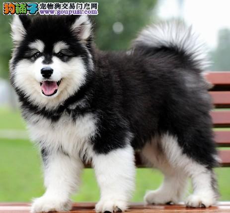 哪里有卖纯种阿拉斯加犬的 泰山直系顶级幼犬出售