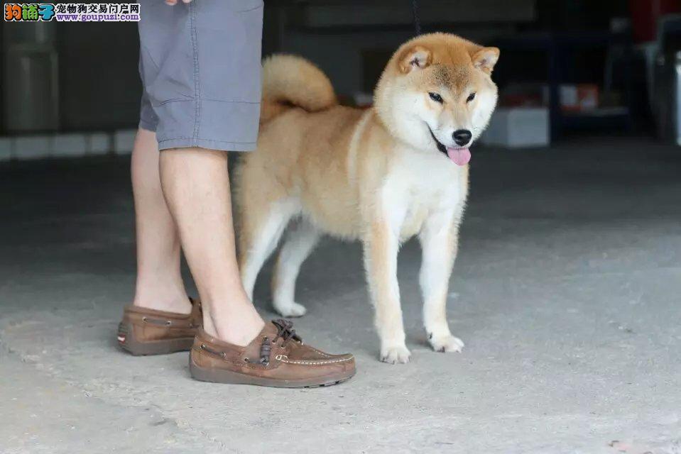 日本柴犬 纯种健康 支持送货 签健康协议