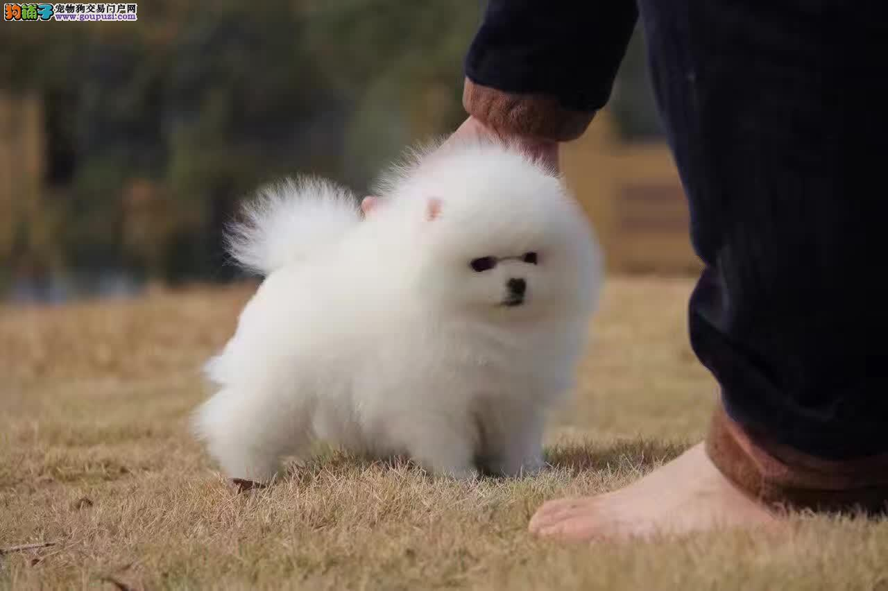 哈多利纯种博美犬,球体博美宝宝