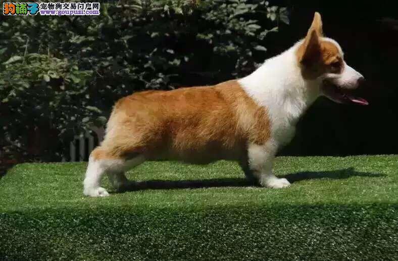 精品纯种威尔士柯基幼犬热销中 两色三色
