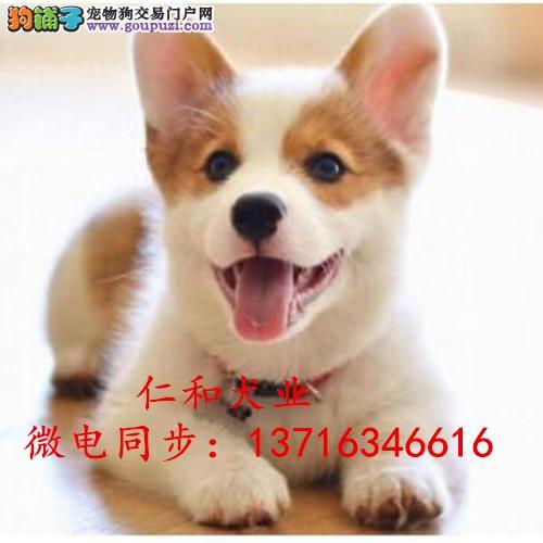 威尔士柯基幼犬 三色两色齐全 品质保证 全国空运