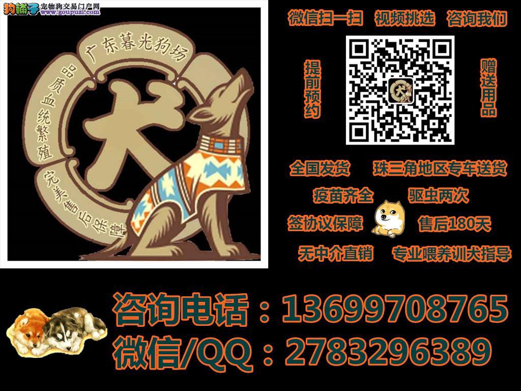 广州健康纯种的幼犬出售 广州哪里买到纯种名犬
