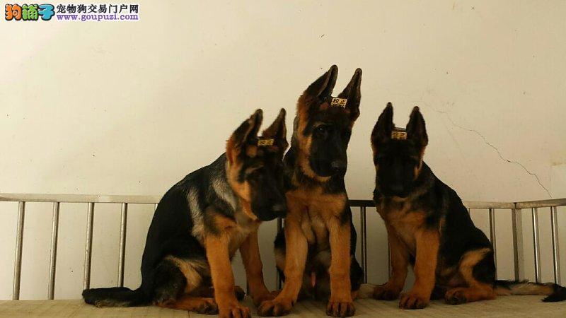 纯种德国牧羊犬,体型好,健康质保