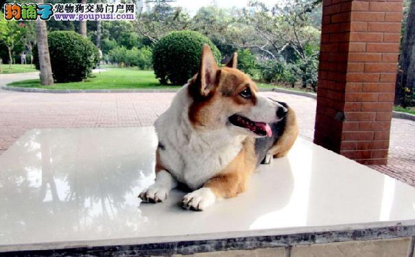 上海售黑头柯基,威尔士柯基犬幼犬公母全有欢迎选购