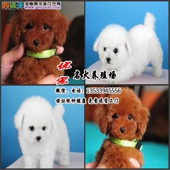 韩国精品 超小体泰迪熊犬 多颜色多挑选 保纯种包养活