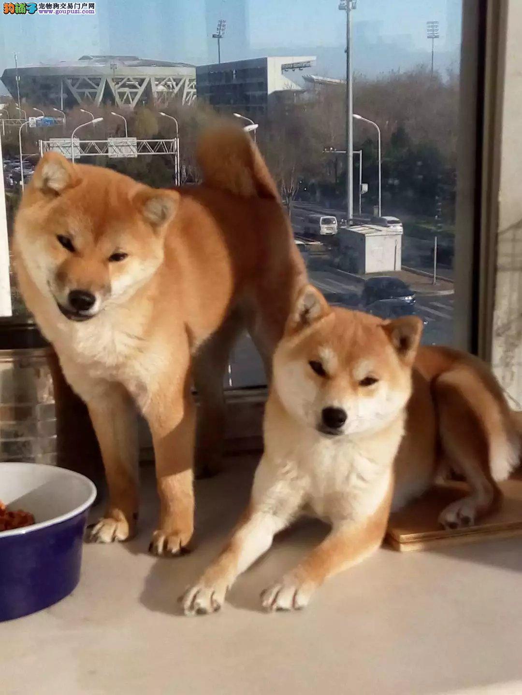 聪明纯种柴犬,专业繁殖幼犬基地