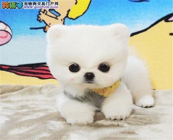 深圳哪里有卖纯种博美犬的深圳俊介犬去哪里买的