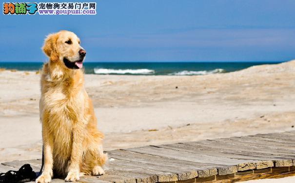 哈尔滨售 金毛幼犬 金毛寻回犬 黄金猎犬公狗