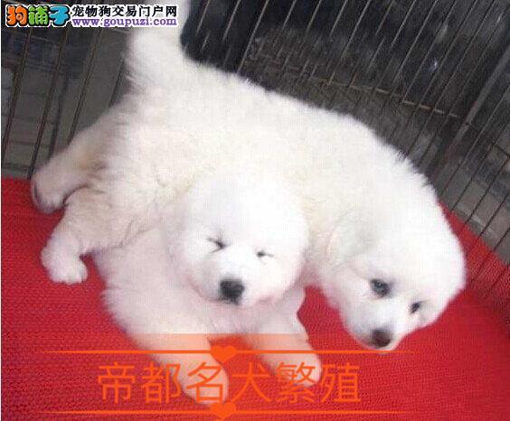 基地特供纯种 大白熊幼犬保纯种健康可来狗场自己选购