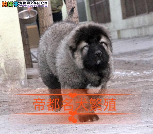 北京高加索犬舍 高加索价格 高加索图片 签订协议