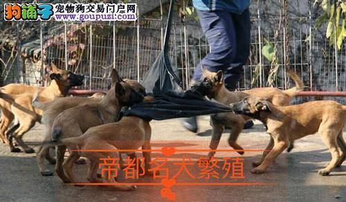 纯种马犬 质保协议齐全 可送货,欢迎前来上门挑选