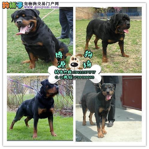 广州哪里有卖纯种罗威纳广州大头罗威纳幼犬一只多少钱