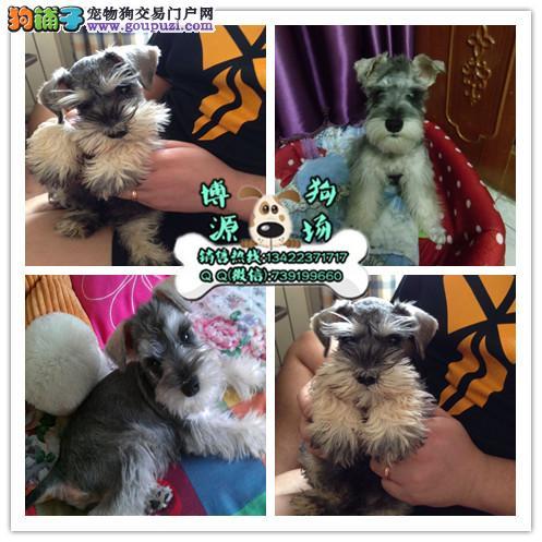 广州哪有卖雪纳瑞 广州哪有卖巨型雪纳瑞 购犬可签协议