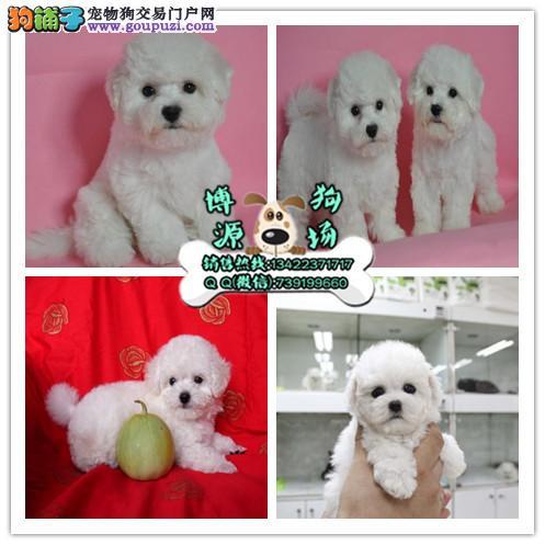 广州哪里有卖比熊犬 棉花糖比熊好养吗 广州比熊价格