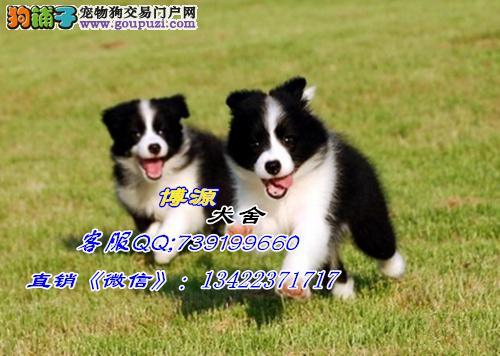 广州哪里有卖边境牧羊犬 广州边境牧羊犬价格是多少