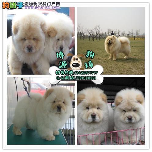 广州市专业繁殖纯种松狮犬 健康活泼 疫苗齐全 可送货