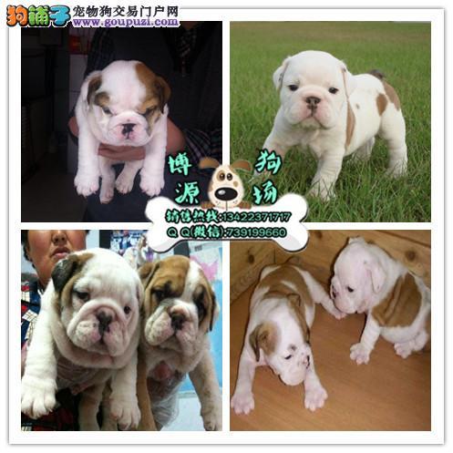 广州英国斗牛犬价格多少钱 广州哪里有卖英国斗牛犬