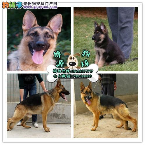 广州正规狗场在哪里 广州什么地方有卖德国牧羊犬