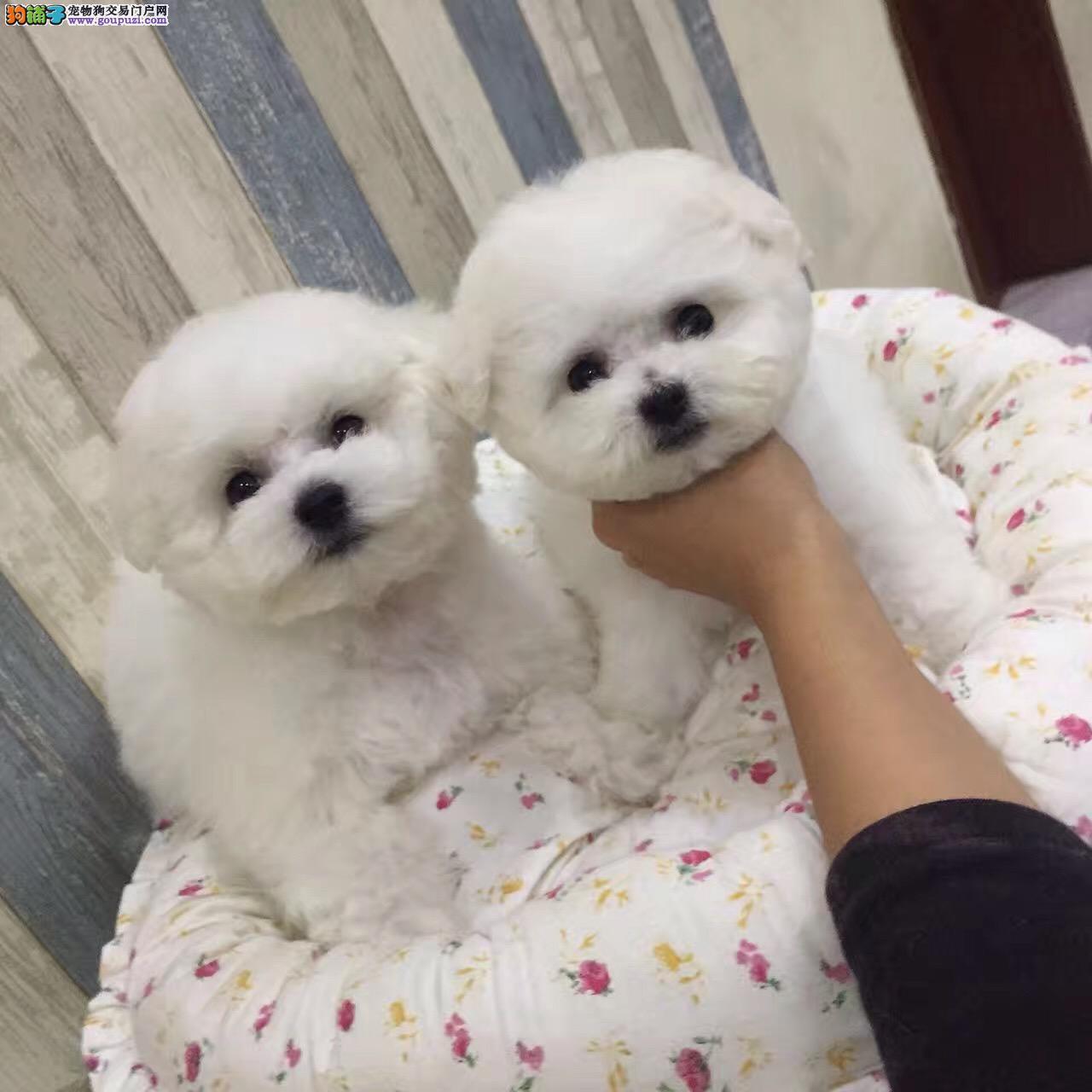 韩国引进纯种比熊犬,正规犬舍常年繁殖