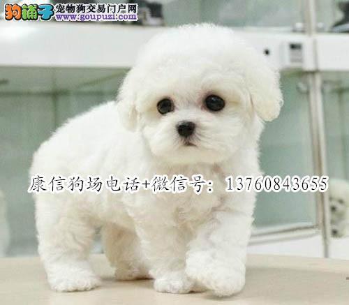 深圳哪里有卖比熊犬 棉花糖比熊好养吗 深圳比熊价格