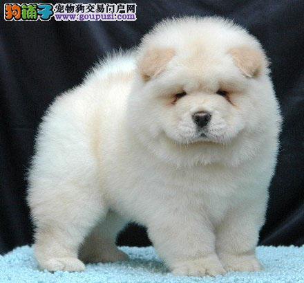 高品质松狮犬,多肉毛发漂亮多只可选,周末购犬优惠