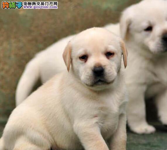 纯种拉多幼犬,疫苗齐全血统纯正到场可签协议