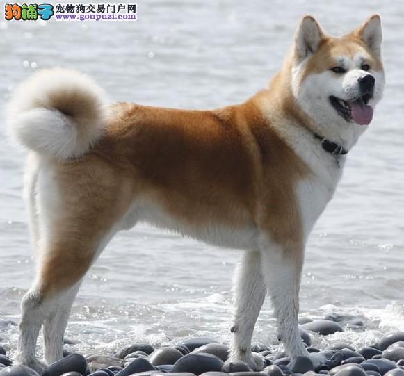 大型秋田犬,智商高品质高疫苗齐全质量有保障