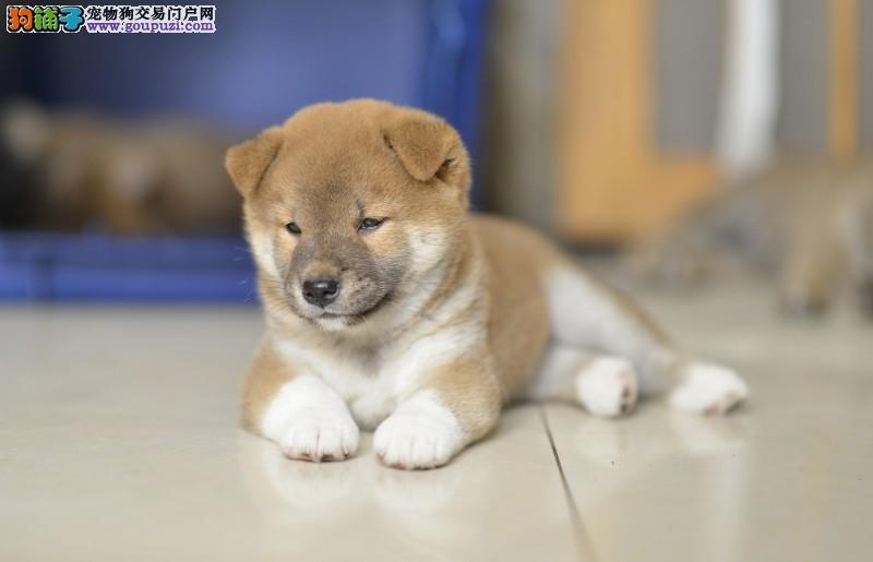 柴犬纯种幼犬,专业繁殖基地 100%保纯种包活