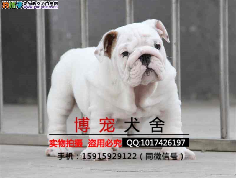 专业繁殖犬舍出售纯种英牛赛级英国斗牛犬疫苗证书齐全