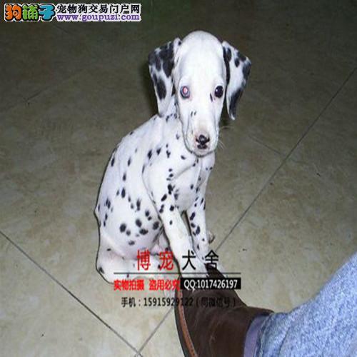 正规犬舍繁殖纯种斑点狗,三个月疫苗驱虫齐全,包养活