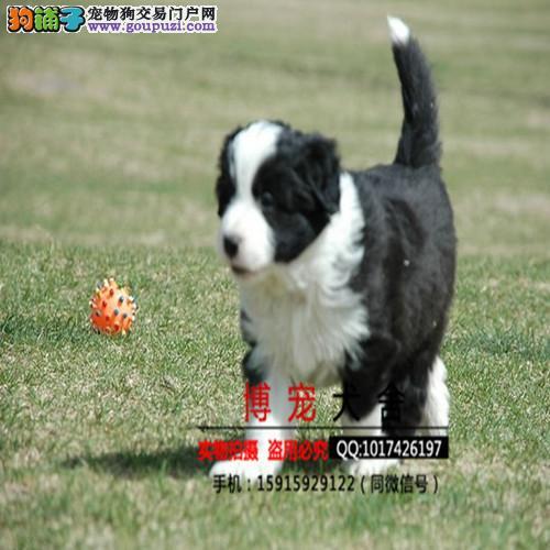 纯种血统边境牧羊犬幼犬七白到位三通赛级边牧