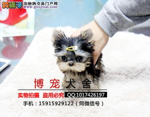 诚兴犬售 约克夏 ·高品质 保健康 上门送货
