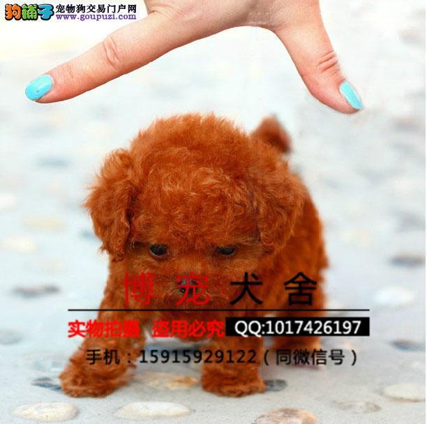 贵宾犬 贵宾幼犬保证纯种健康 、终身质保、饲养指导