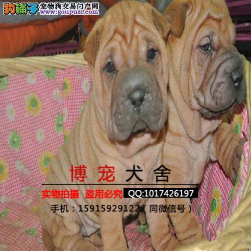 自家犬舍出售纯种可爱沙皮幼犬 疫苗驱虫证书一切齐全