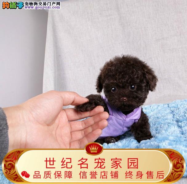 纯种茶杯犬 世界最小 最萌名犬健康保证