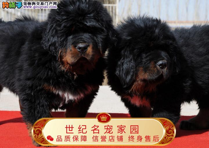 北京世纪藏獒犬基地 完美售后 质量三包