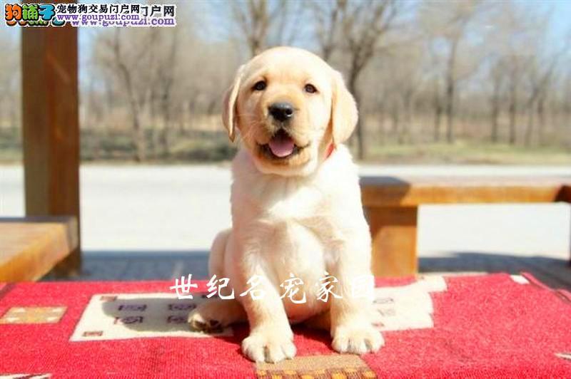 选择专业有保障 只做高品质拉布拉多犬 欢迎实地购买