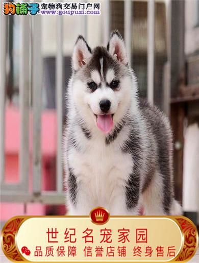 信誉第一 品质第一 精品哈士奇幼犬十佳犬舍