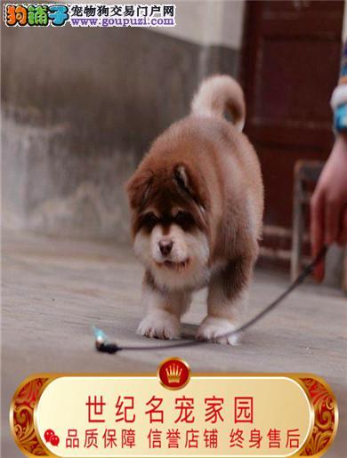 纯种阿拉斯加雪橇犬 极地品质 质量保证