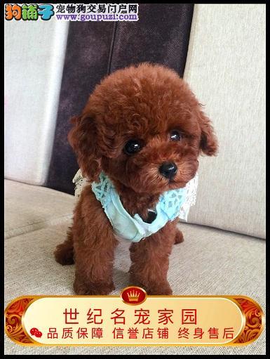 选择专业有保障 只做高品质泰迪犬 欢迎实地购买